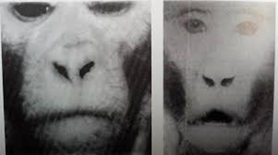咬合對長相的影響 猴子實驗
